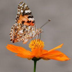 Miliony motyli monarchów przybyły do Meksyku.